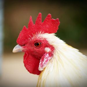 a poised chicken