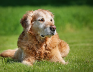 Older dog with arthritis laying in grass