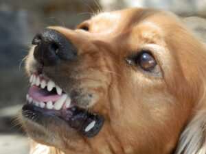 Dog bearing teeth and being aggressive