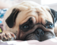 Duchess: the Pug Who Couldn't Breathe