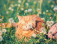 Dandelion Herb for Pets