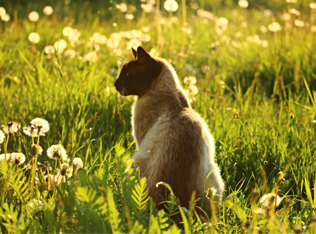 Dandelion Herb for Pets
