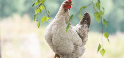 Does Acupuncture Work? Just Ask This Chicken